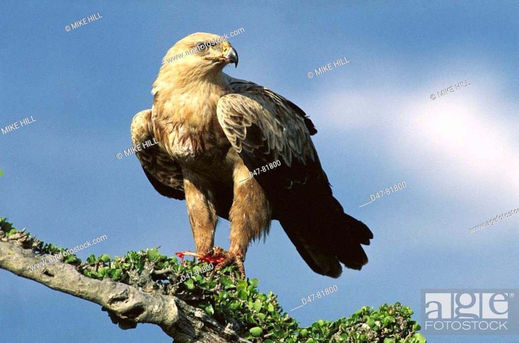 Stock Photo: Tawny Eagle (Aquila rapax). Kenya.