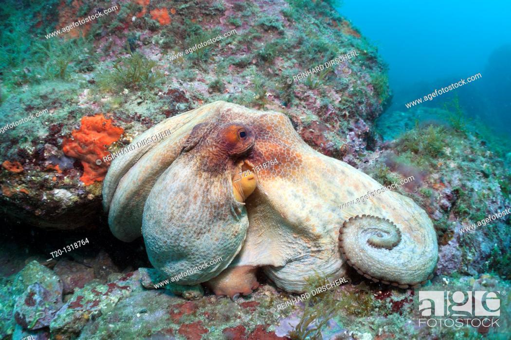 Stock Photo: Common Octopus over Reef, Octopus vulgaris, Cap de Creus, Costa Brava, Spain.