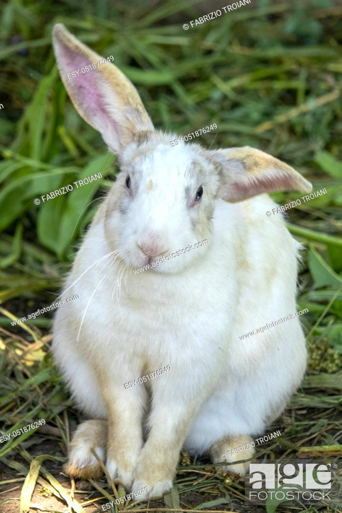 Stock Photo: Close up of a white rabbit (Oryctolagus cuniculus).