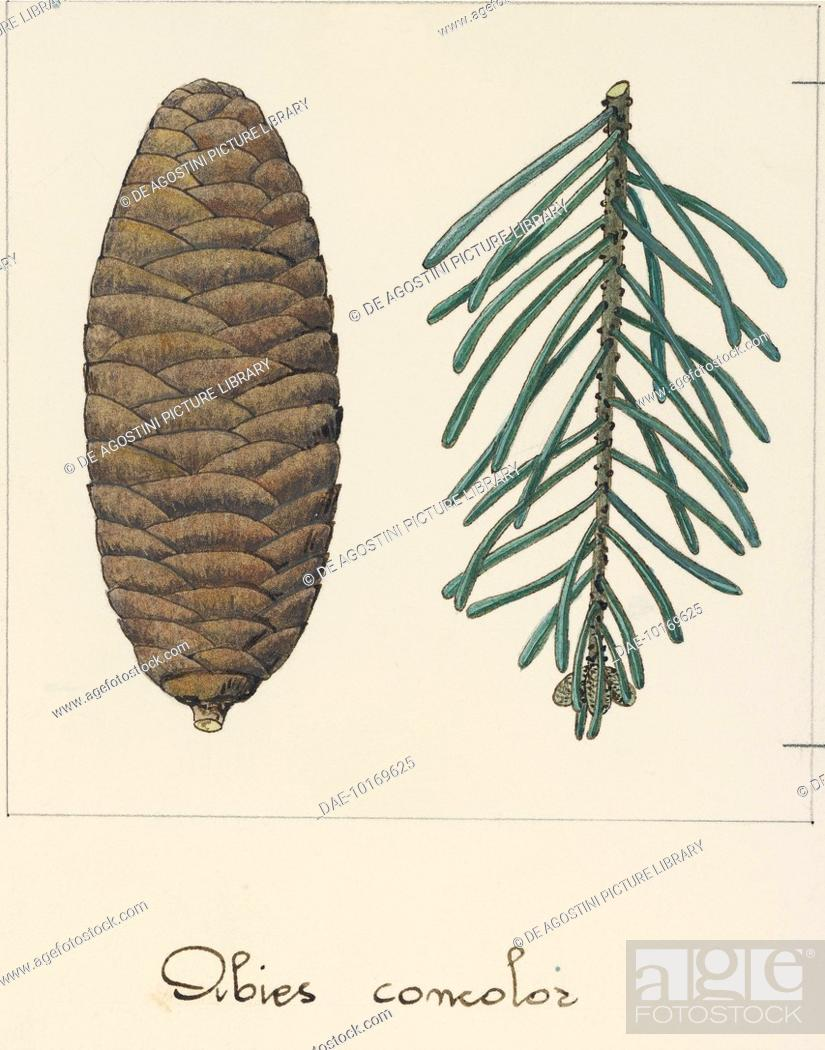 Branch And Pine Cone Of The White Fir Abies Concolor Pineceae