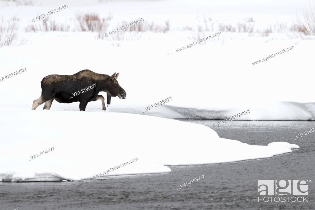 Stock Photo: Moose / Elch (Alces alces) bull in winter, crossing a river, walking through a creek, surrounded by a lot of snow, Yellowstone NP, Wyoming, USA. .