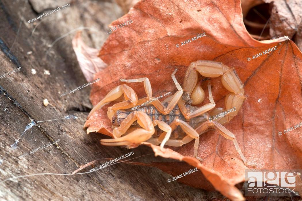 Stock Photo: Scorpion Buthus occitanus.