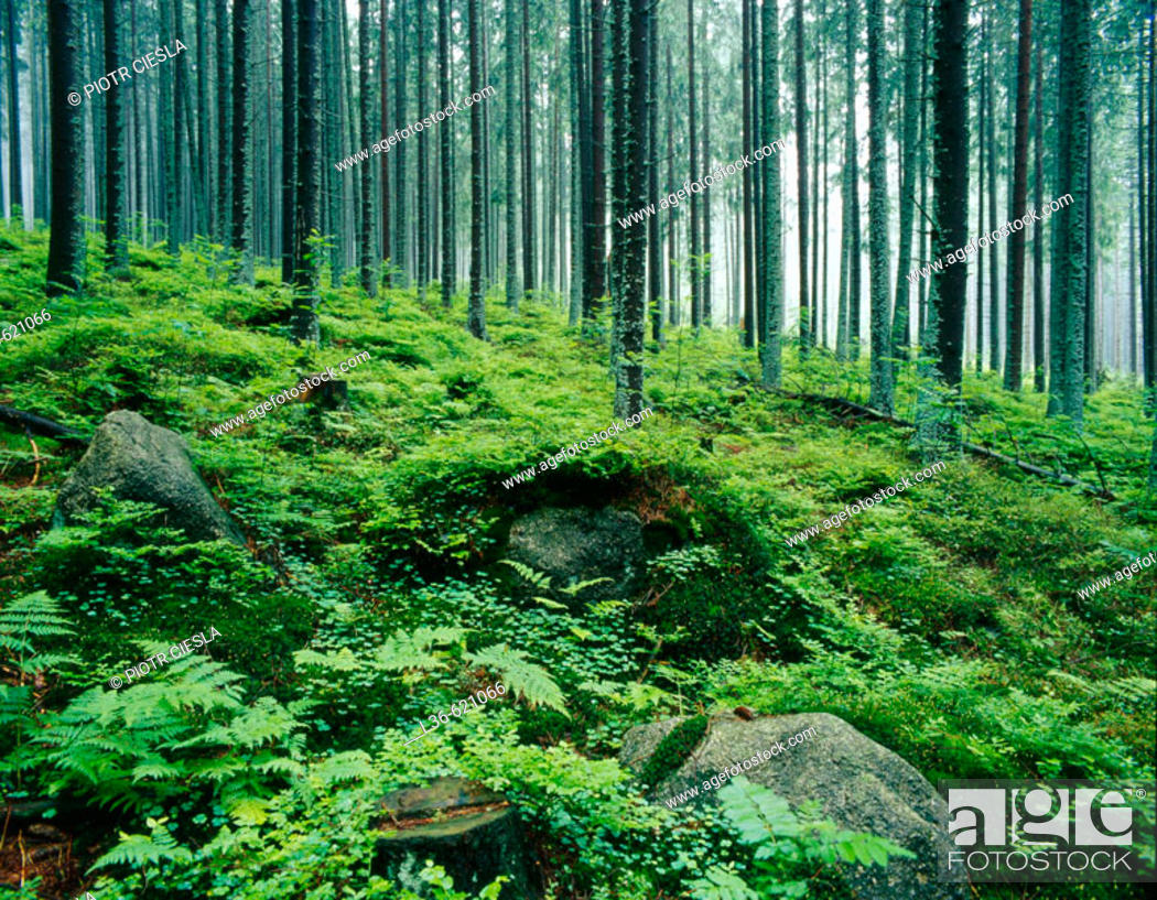 Stock Photo: Forest in the Tatra Mountains.