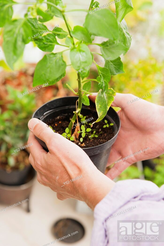 Stock Photo: Man caring for a potted plant.