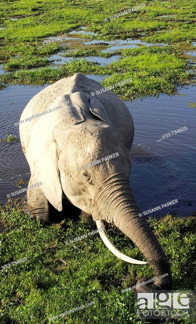 Stock Photo: Elephant feeding in a swamp in Amboseli, Kenya.