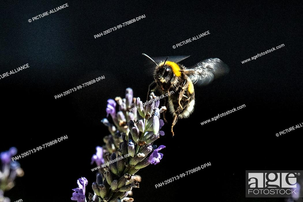 Imagen: 13 July 2020, North Rhine-Westphalia, Cologne: A bumblebee flies to a lavender blossom to collect nectar. Photo: Federico Gambarini/dpa.