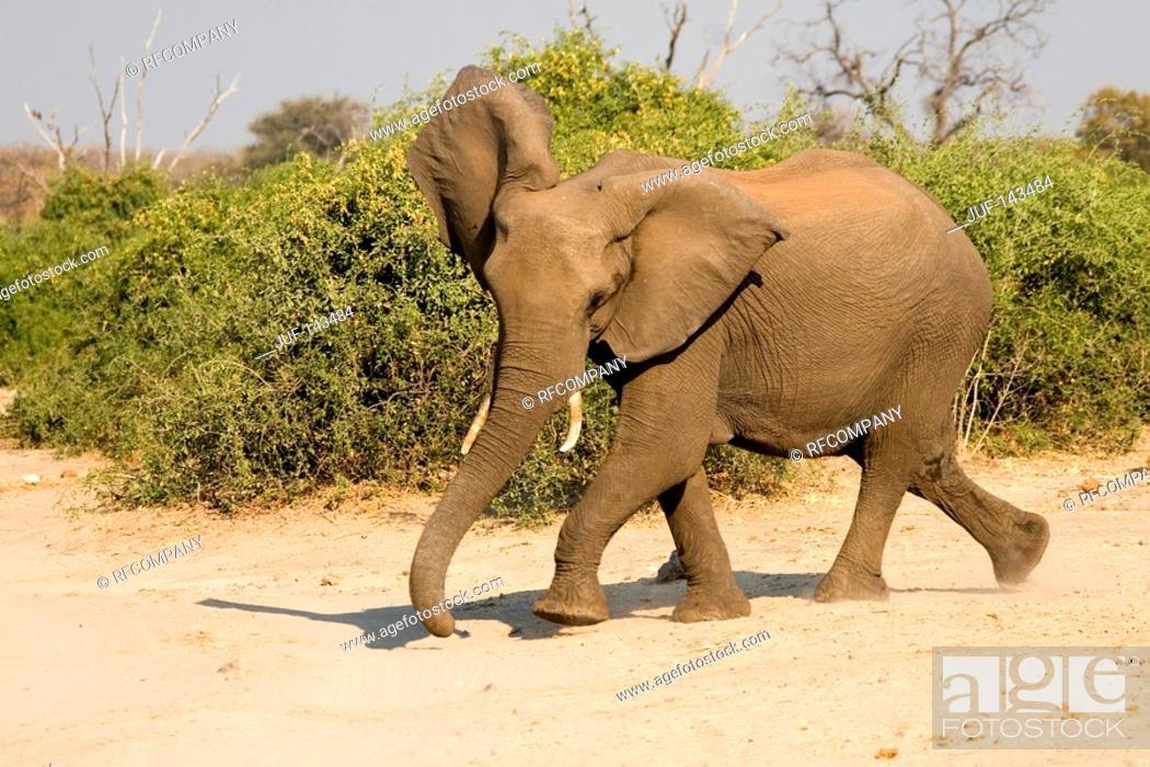 Imagen: African elephant - running / Loxodonta africana.