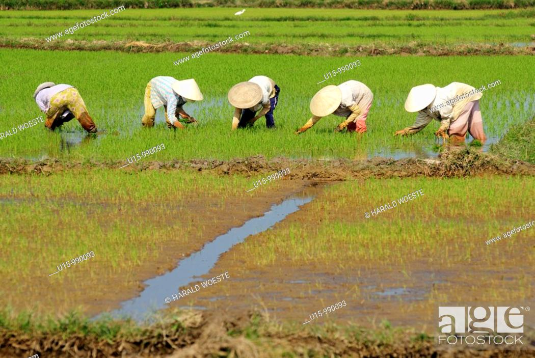 Stock Photo: People working in a rice field near Hoi An, Vietnam.