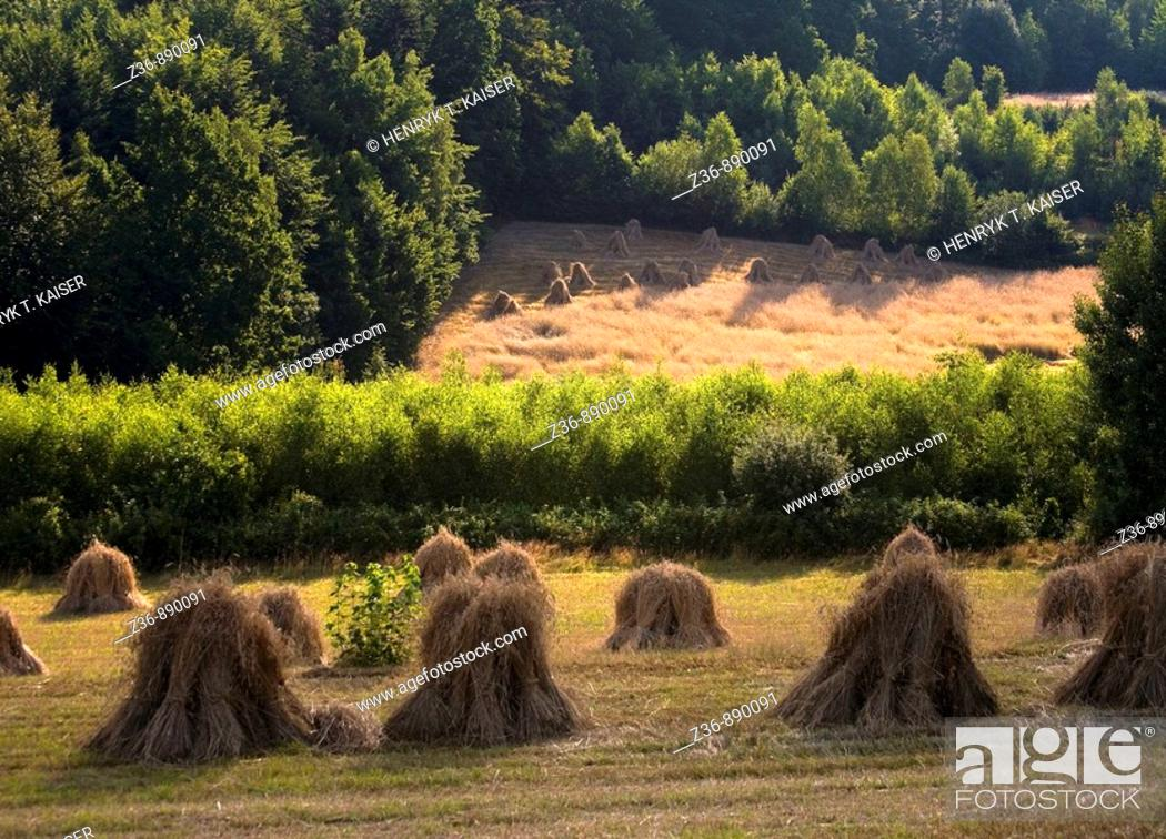 Stock Photo: Field, wheat, sheats.