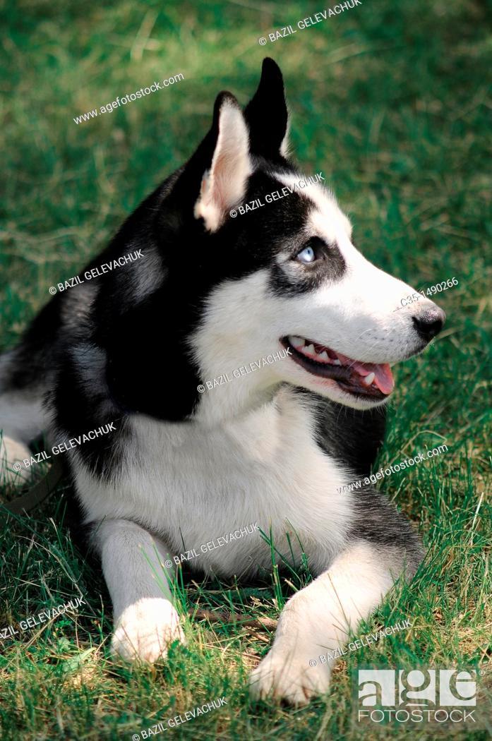 Stock Photo: Russian-European husky.