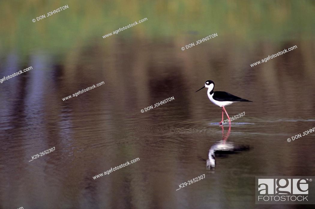 Stock Photo: Black-necked stilt (Himantopus mexicanus), Myakka River State Park, Florida, USA.