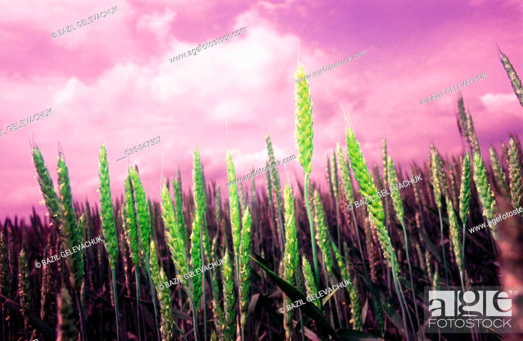 Stock Photo: Wheat.