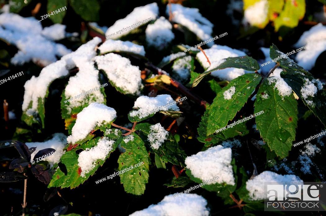 Stock Photo: Blätter mit Schnee.