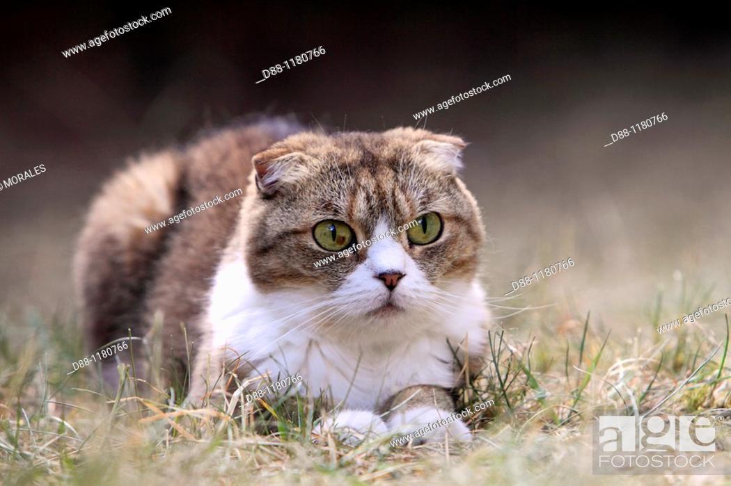 Stock Photo: Scottish Fold  Single fold  Felis silvestris catus.