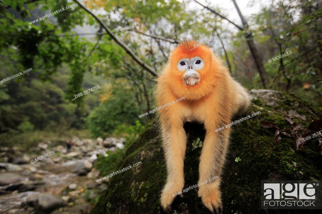 Stock Photo: Asia, China, Shaanxi province, Qinling Mountains, Golden Snub-nosed Monkey Rhinopithecus roxellana, sitting on a rock.