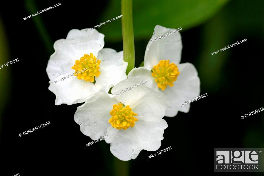 Stock Photo - Arrowhead - flowers of plant growing in garden pond (Sagittaria sagittifolia)