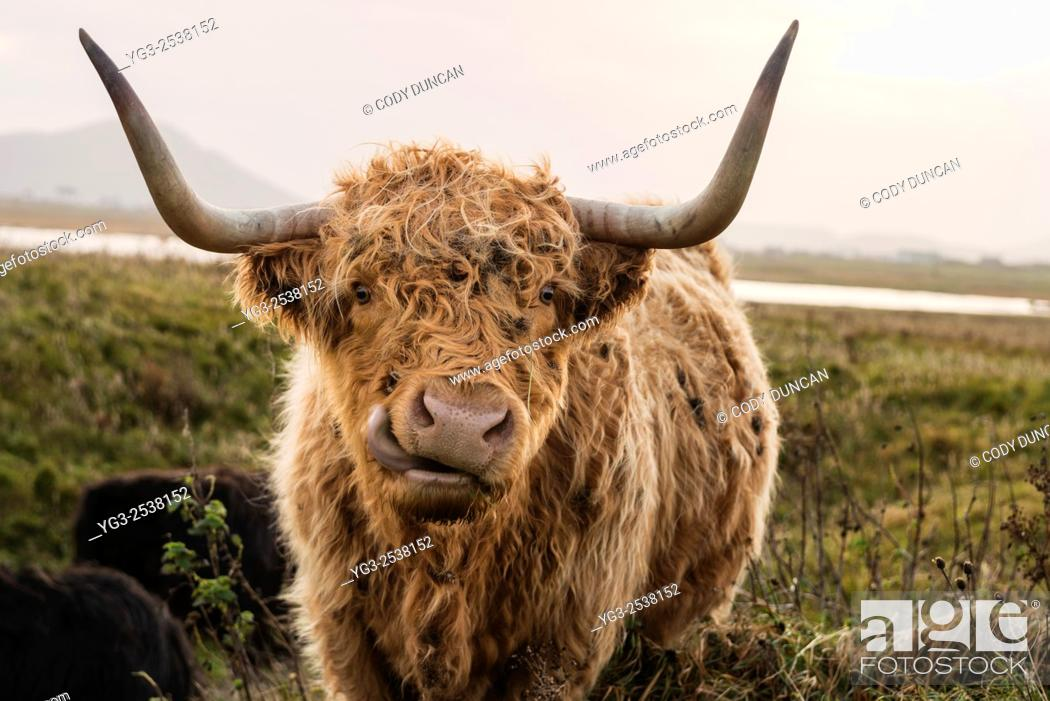 Stock Photo: Scottish highland cow looking into camera with mouth open, Outer Hebrides, Scotland.