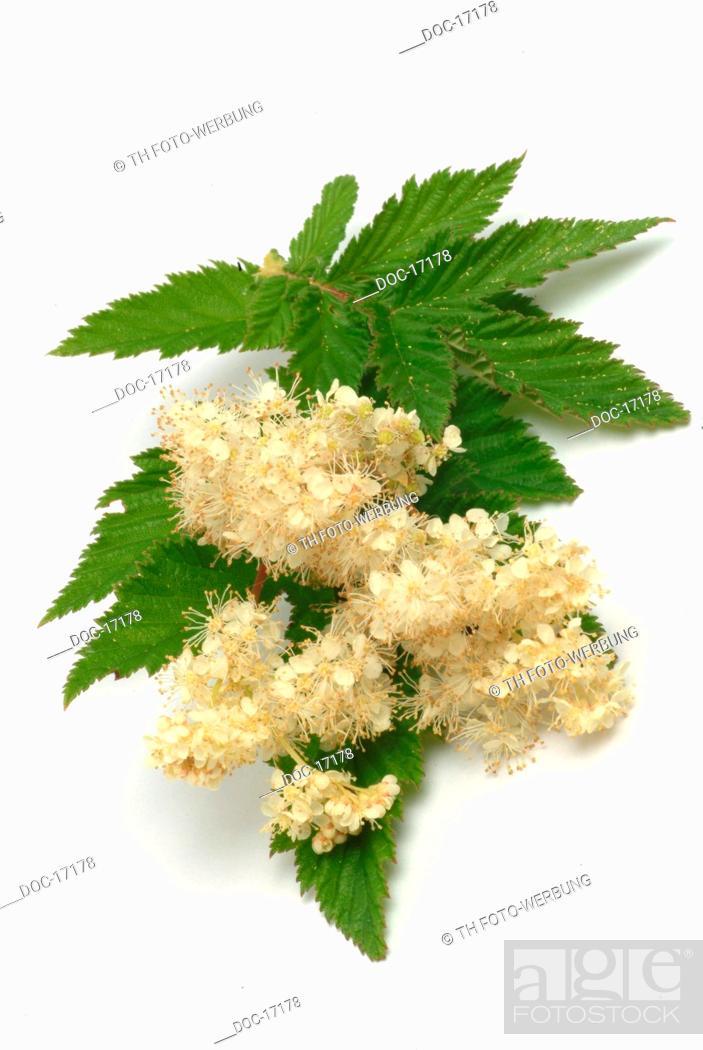 Imagen: Meadowsweet - medicinal plant - herb - Filipendula ulmaria - Olmario - pianta medizinale.