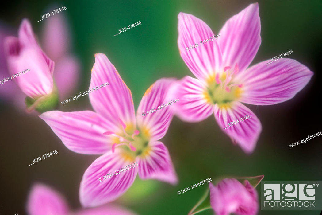 Stock Photo: Spring beauties, Claytonia virginica. Deciduous woodland spring flower with insect guidelines in petals. Manitoulin Island. Ontario, Canada.