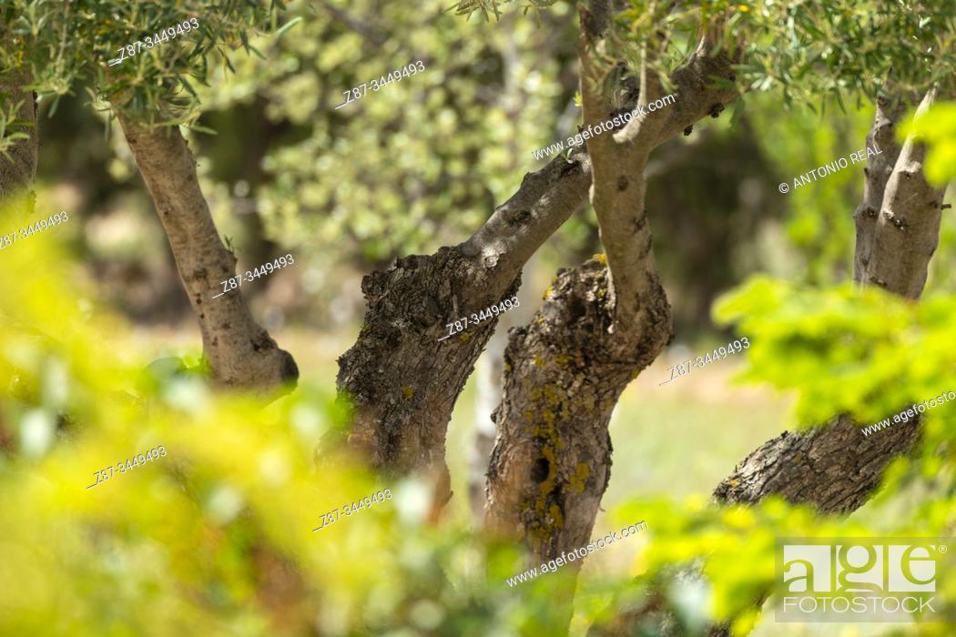 Imagen: Olive tree (Olea europaea). Almansa, Albacete Province, Spain.