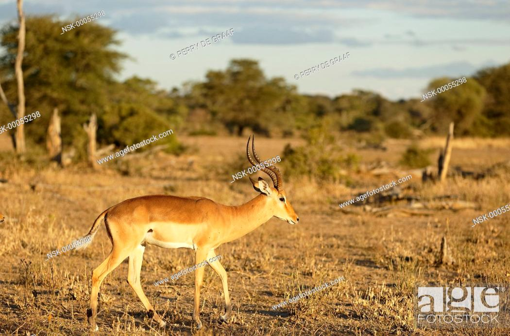Imagen: Impala (Aepyceros melampus) male, territorial advertising, raising the tail to show the white side, a behaviour also associated with dominance display.