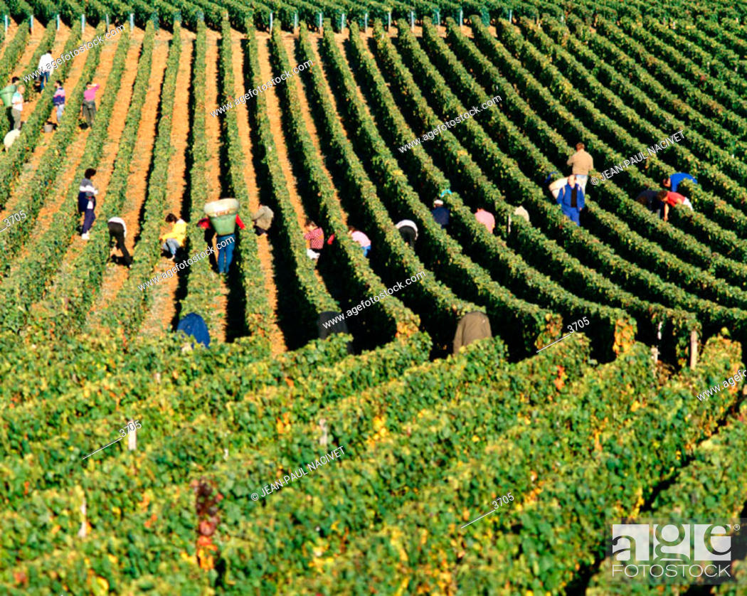 Imagen: Vineyard. Burgundy. France.