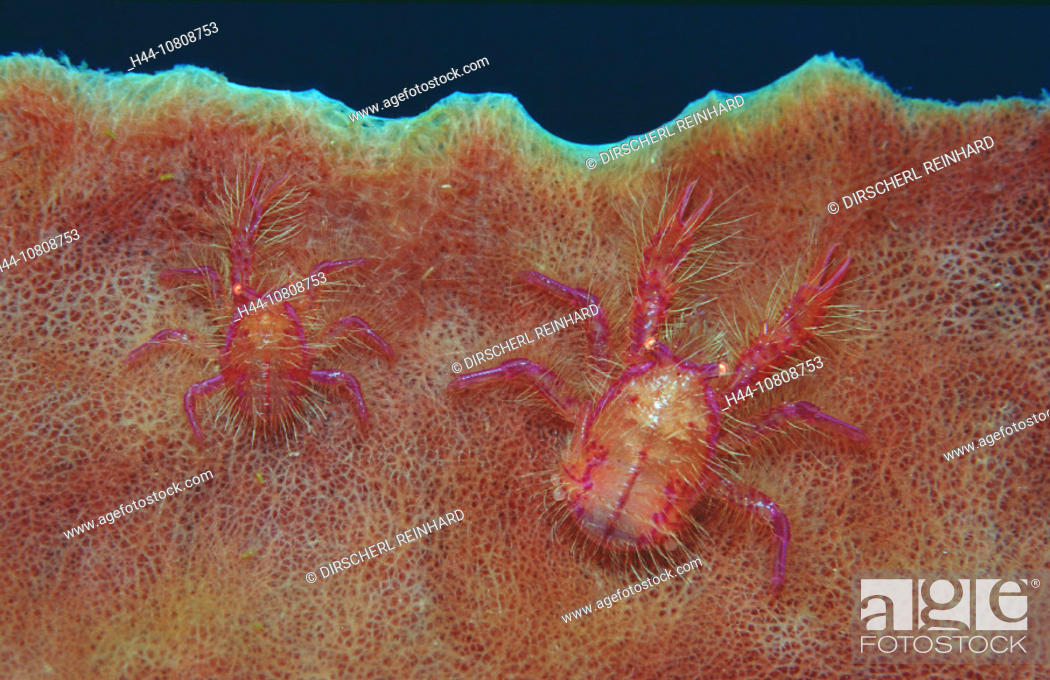 Stock Photo: action, critters, diving, holiday, holidays, Indian Ocean, Indonesia, invertebrate, Komodo, national park, Lauriea s.