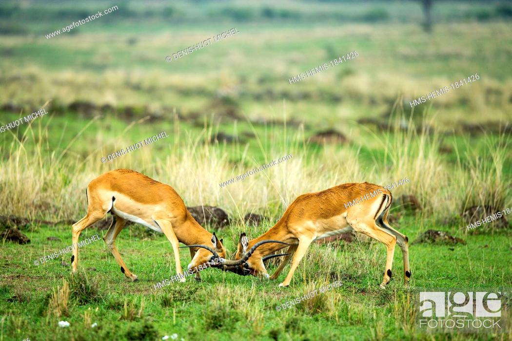Imagen: Kenya, Masai-Mara game reserve, Impala (Aepyceros melampus), males fighting.