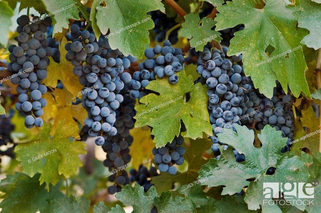 Stock Photo: Wine grapes, Napa Valley, California.