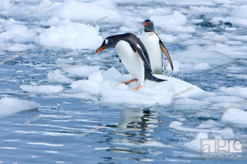 Stock Photo: Adult gentoo penguins Pygoscelis papua swimming and playing on small growlers in Neko Harbour in Andvord Bay, Antarctica  There are an estimated 80.