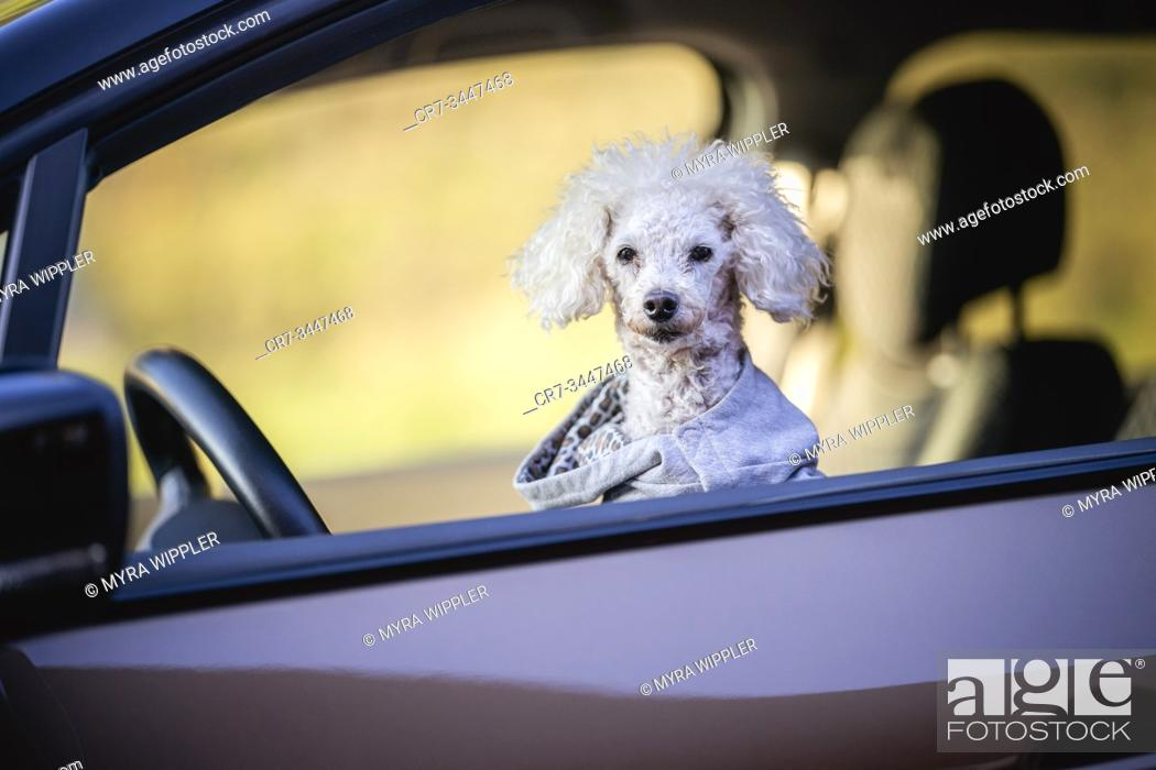 Stock Photo: White small poodle dog enjoying summer day in the forest, Östergötland, Sweden.