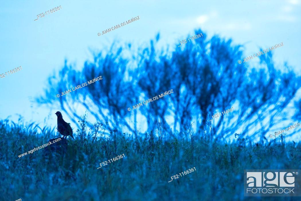 Stock Photo: Red-legged Partridge (Alectoris rufa), La Serena, Badajoz province, Extremadura, Spain.