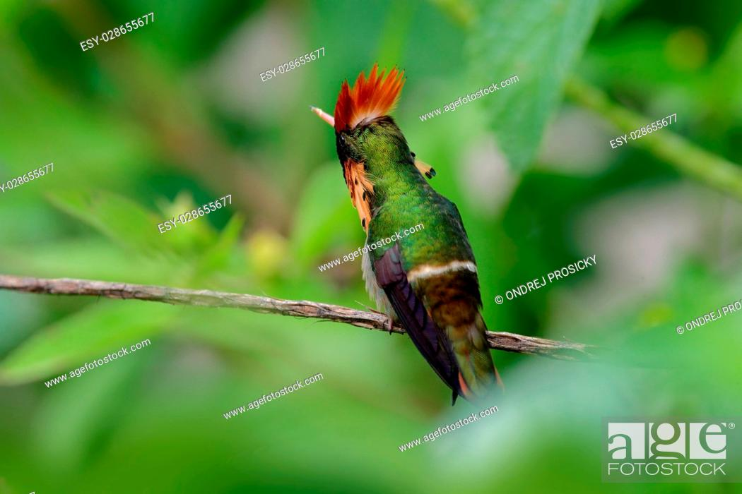 Imagen: Colorful hummingbird Tufted Coquette from Trinidad sitting.