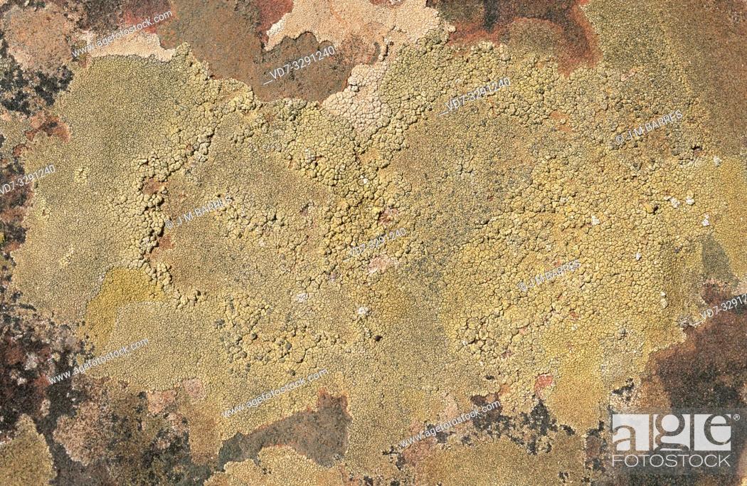Imagen: Pertusaria rupicola is a crustose lichen that grows on siliceous rocks.