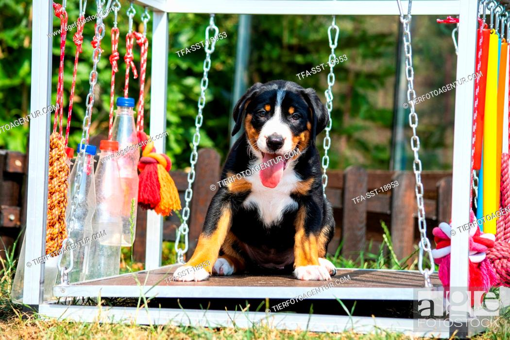 Appenzell Mountain Dog Puppy Stock Photo Picture And