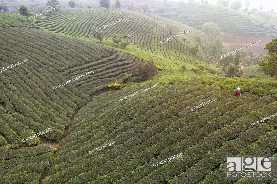 Stock Photo: Aerial view of a Pu'er (Puer) tea plantation in Xishuangbanna, Yunnan - China.