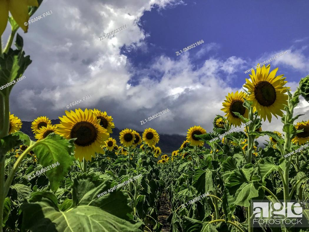 Stock Photo: The blanket of yellow sunflowers all bend in the direction of the sun, standing at attention on land between the Kuihelani Highway and the Honoapi?ilani Highway.