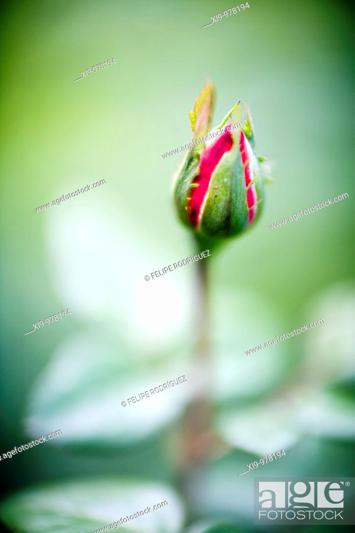 Stock Photo: Rose bud, Seville, Spain, rose, plant, flower, bud, new.