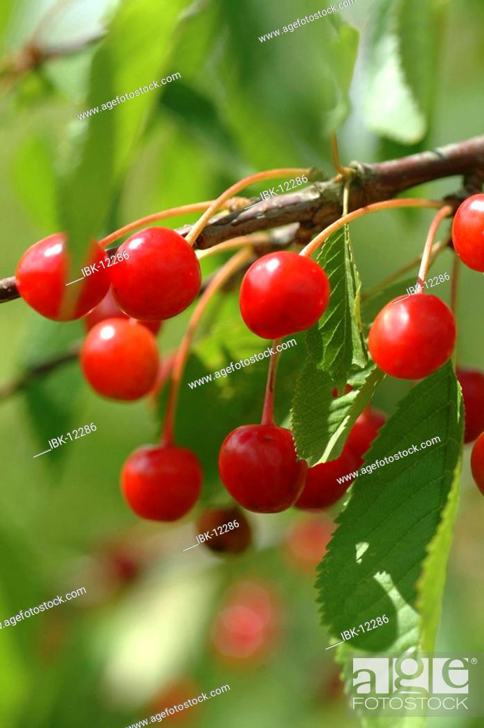 Stock Photo: Cherries at the tree.