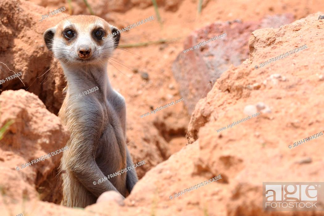 Stock Photo: Meerkat, Suricata suricatta, Kgalagadi Transfrontier Park, Northern Cape, South Africa.