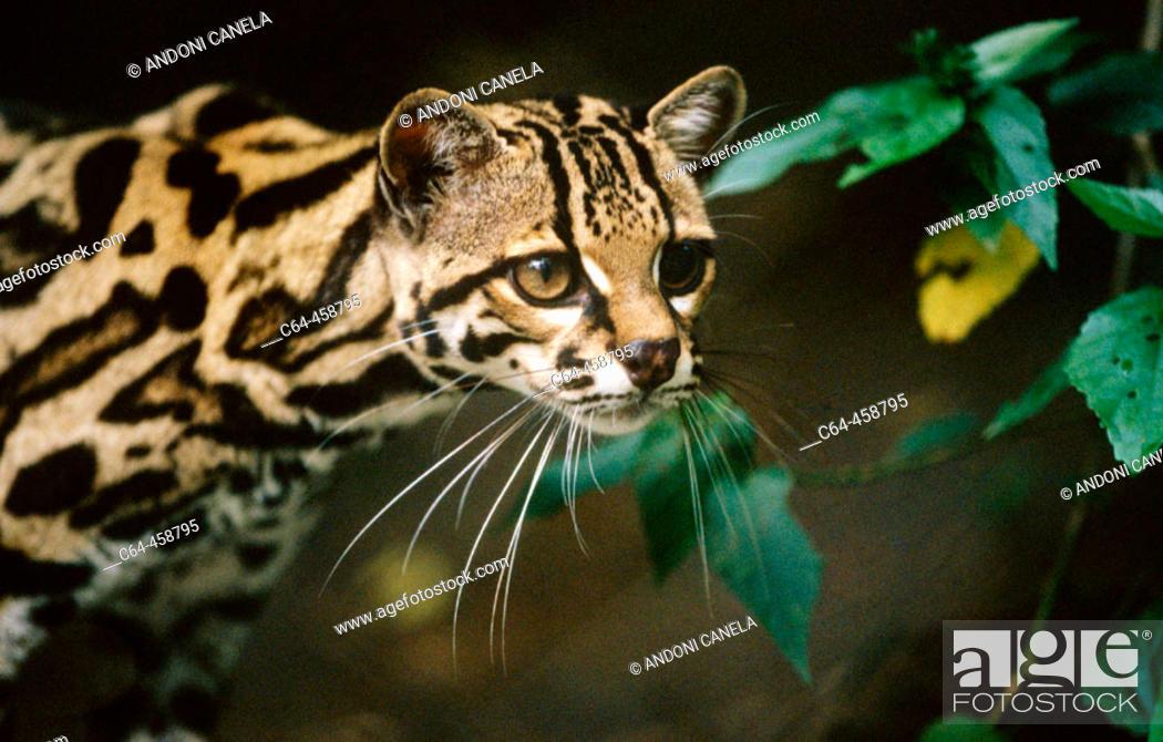 Stock Photo: Margay (Leopardus wiedii). Costa Rica.