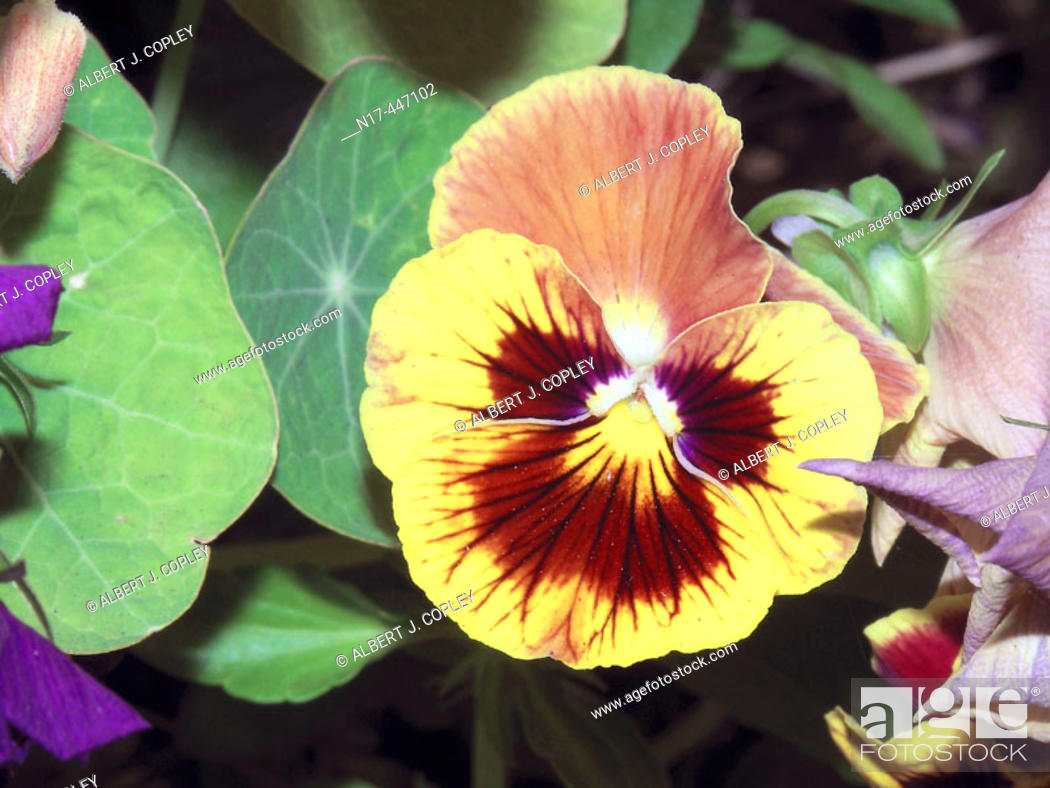 Stock Photo: Pansy, flower.