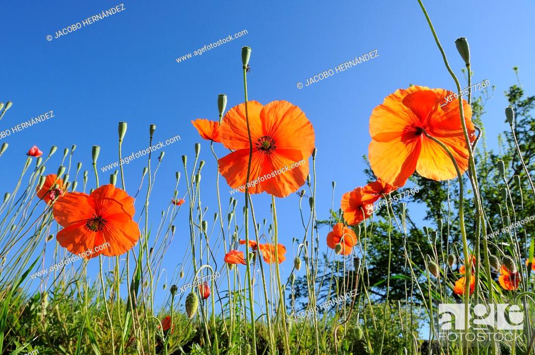 Stock Photo: Poppies(Papaver rhoeas)Extremadura.Spain.