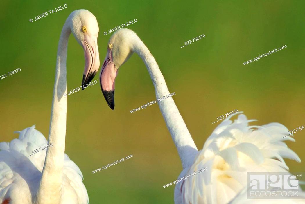 Stock Photo: Greater Flamingo (Phoenicopterus roseus).