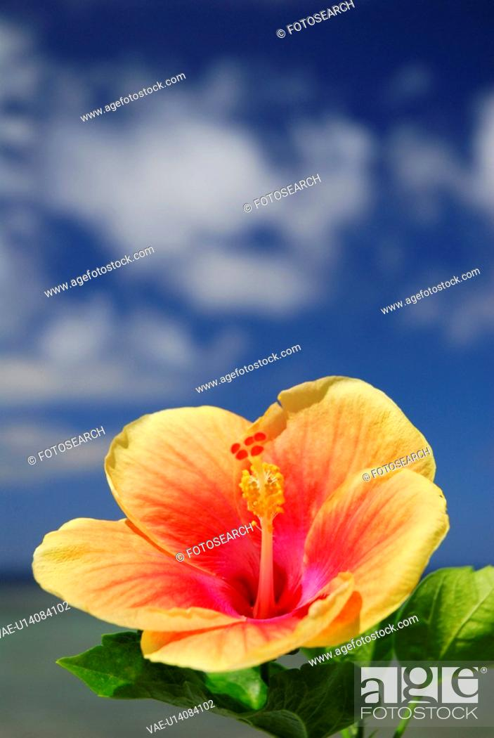 Stock Photo: Hibiscus.
