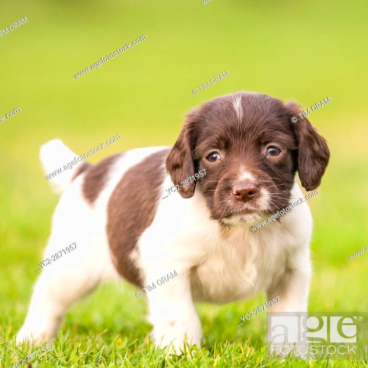 Stock Photo: An English Springer Spaniel puppy at 6 weeks old exploring the garden.