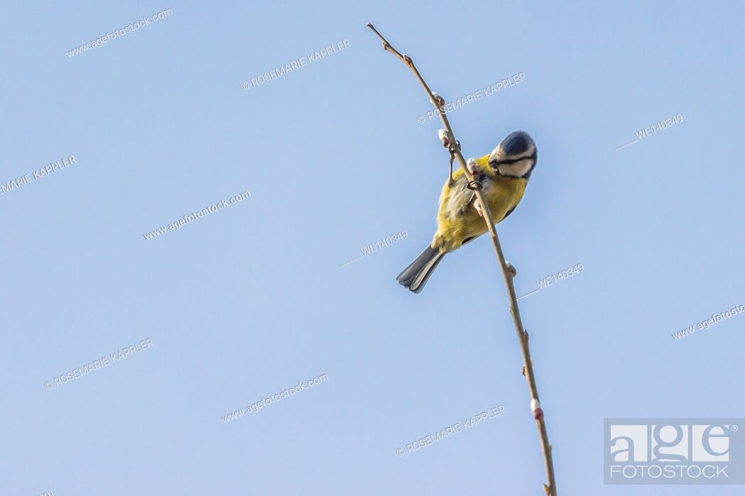 Stock Photo: Germany, Saarland, Homburg, A blue tit picks on a branch.