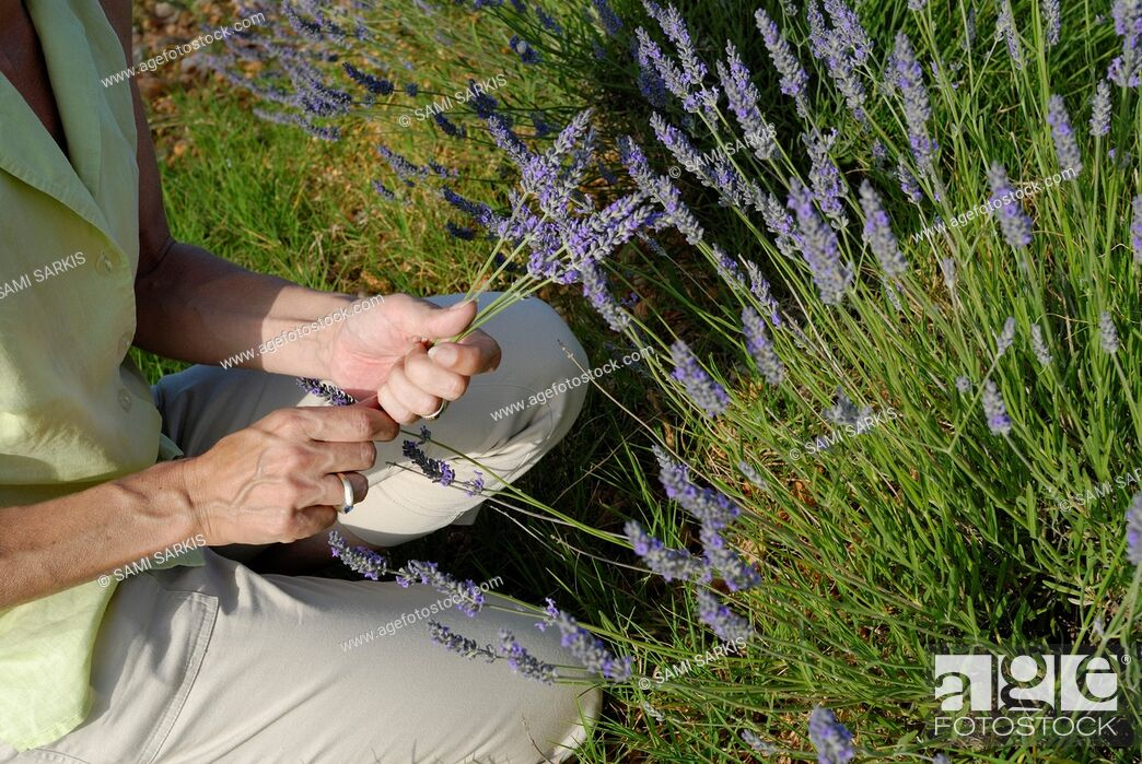 Stock Photo: Woman picking lavender flowers in field, Plateau de Valensole, Provence, France, Europe.