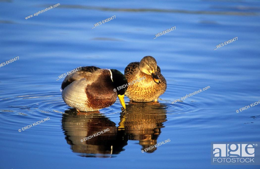 Stock Photo: ducks.