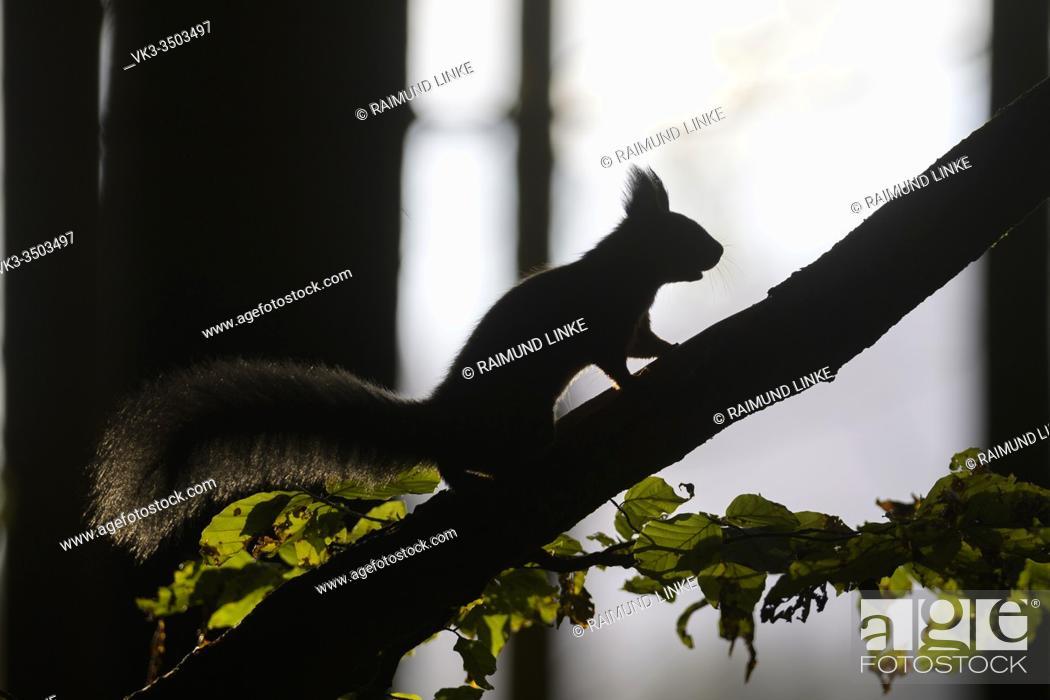 Stock Photo: Red Squirrel, Sciurus vulgaris, in forest.